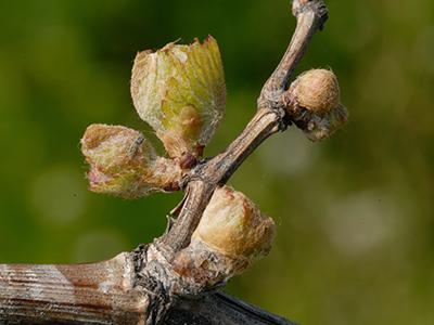 Weingarten im Frühling in Tadten