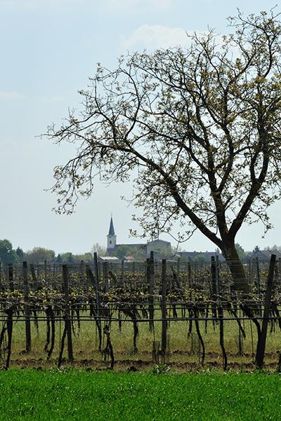 Blick über die Weingärten auf die Tadtener Kirche