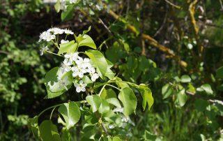 Blühender Strauch am Gemeindeteich Tadten