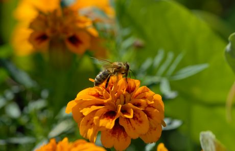 Biene auf Blüte in der Region Tadten