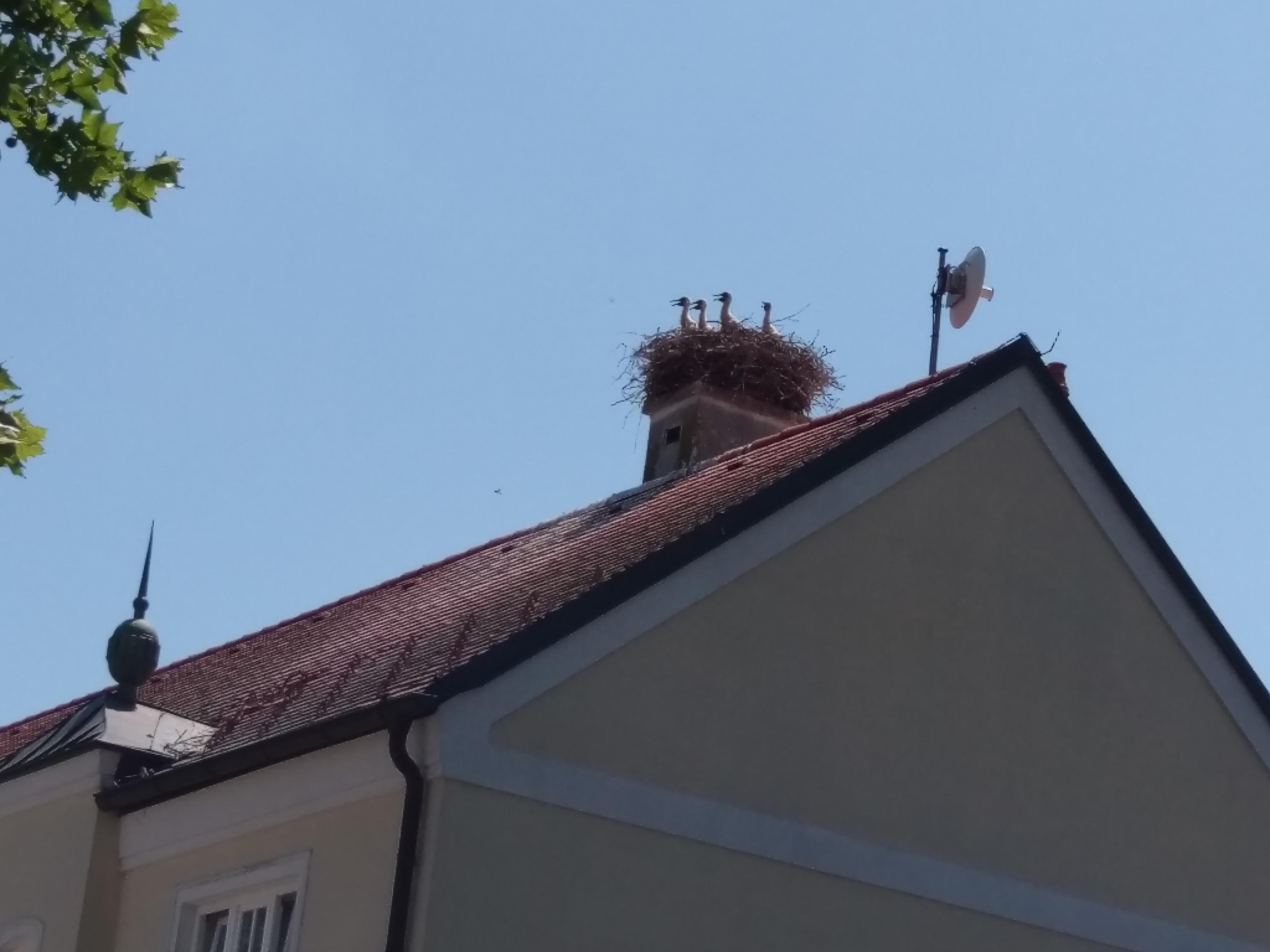 4 Jungstörche auf dem Gemeindeamt Tadten