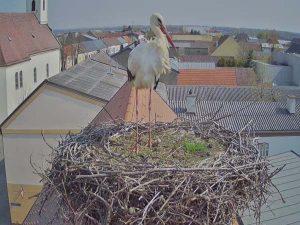 Storch auf Gemeindeamt Tadten