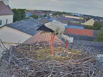 Storch mit 3 Storchküken im Nest am Dach der Gemeinde Tadten
